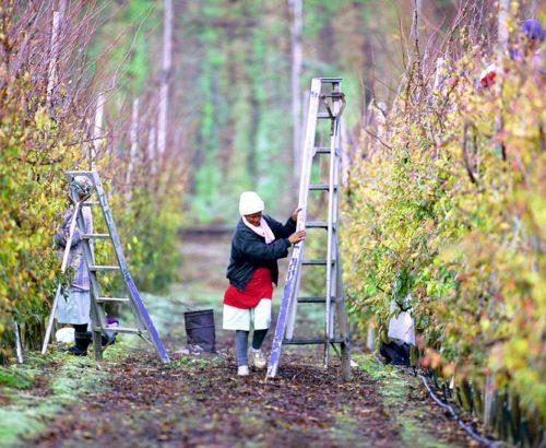 Worker pruning fruit trees
