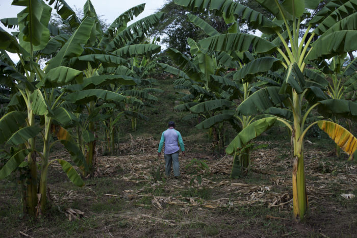 A former FARC guerrilla walking in a banana plantation