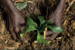 Photo of a woman's hands tending to a small green plant growing in the ground.